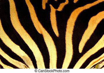 Close-up body of the Zebra.