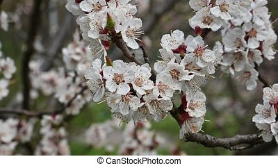 Close up branch of apricot tree blossom, low angle view, 4K