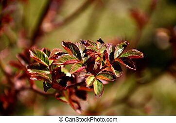 close up branch with young red and green leaves of spray roses. floral background. rose bush growing in soil in garden in spring sunny day. copy space