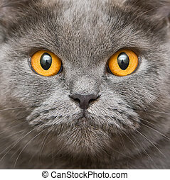 Close-up British Cat - close-up face portrait of the british...