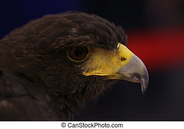 close up brown eagle eye