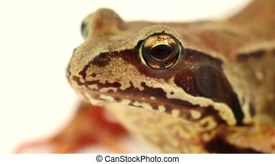 close up brown frog