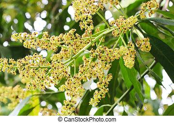 Close up Bunch of mango flowers on tree