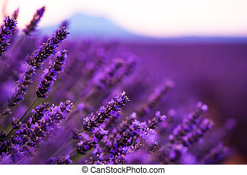Close up Bushes of lavender purple aromatic flowers at lavender field in summer near valensole in provence france