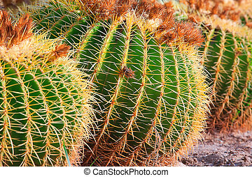 Close-up cactuses