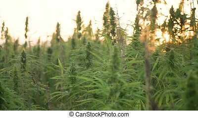 video of sun shining trough cannabis leafs and narcotic buds in hemp plantation.