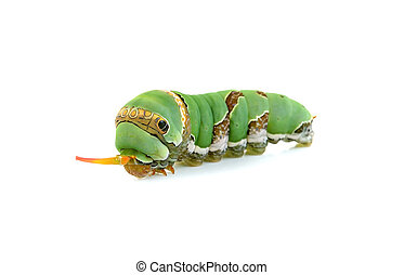 Close up caterpillar isolated on the white background