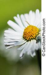 close-up, chamomile, macrophotography