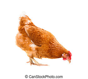 close up chicken hen eating something isolated white...
