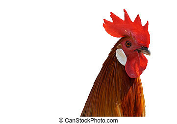 portrait of a rooster on white background