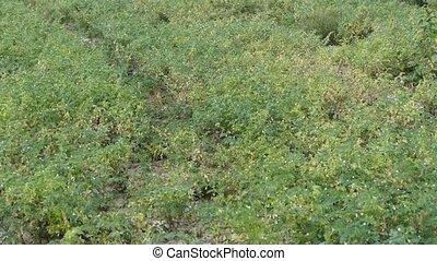 close-up chickpeas rust disease, chickpea fungal disease, diseased chickpea field,