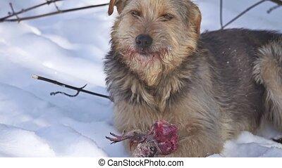 Close up Close up dirty stray dog eating a pigeon bird. bird...