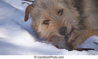 Close up Close up problem of stray dirty stray dog eating a...
