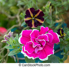 Close up colorful Dianthus flower in garden