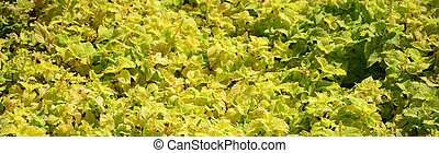 Close up colorful yellow coleus plant in a garden. Top view