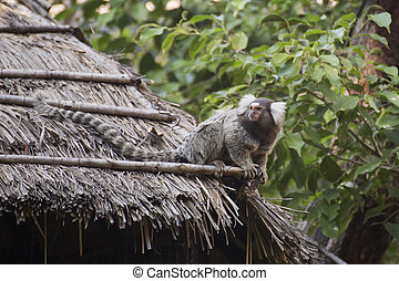Close up Common Marmoset on the roof