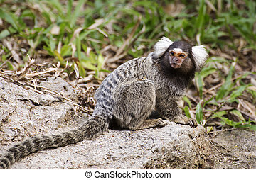 Close up Common Marmoset on the floor