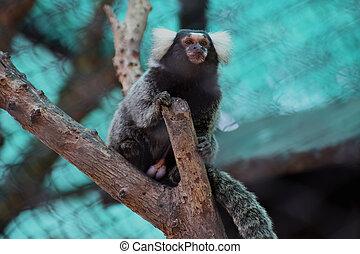 Close up Common Marmoset on the tree
