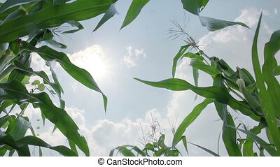 close up corn field background