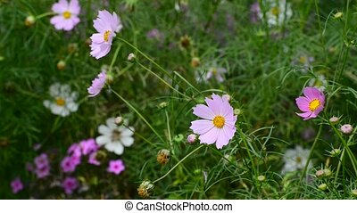 Close up cosmos flowers in garden