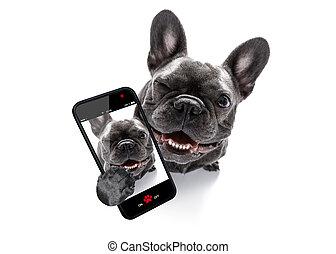 close up curious dog looks up - curious french bulldog dog...