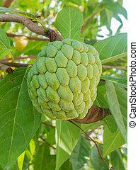 Close up custard apple fruit, Annona squamosa