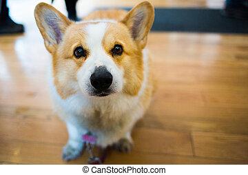 Close up cute corgi dog looking at the camera