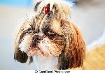 Cute Shih Tzu White Toy Dog - Close Up Cute Shih Tzu White...