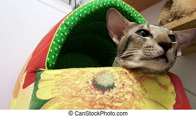 Close Up: Cute siamese Cat in office - Close Up: Cute...