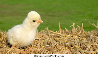Close up cute yellow chick sitting on a hay bale outside in...