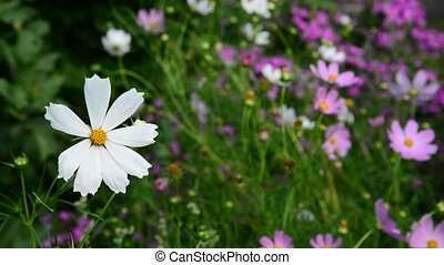 Close up Daisies flowers in garden