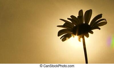 Close-up. Daisy - Close-up on a daisy. Sepia toned image