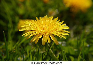 Close up dandelion