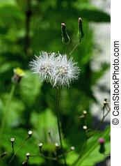 close up Dandelion