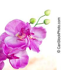 close-up, de, phalaenopsis, orquídea, flor