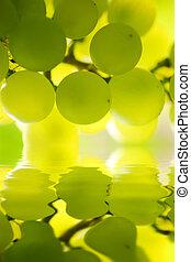 close-up, de, um, cacho uvas, ligado, videira, em, vineyard., raso, dof.