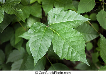 Poison Ivy - Close up detail of a Poison Ivy Plant. ...