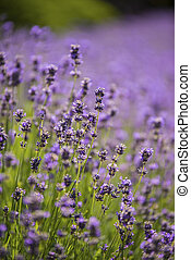 Close up detail of lavender field in Summer
