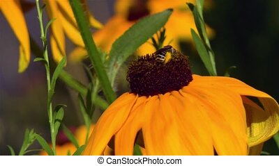 Gardening: close-up, detailed view of a bee landing on a Rudbeckia Hirta Black Eyed Susan flower.