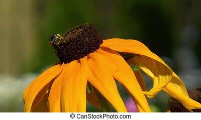 Gardening: close-up, detailed view of a bee on a Rudbeckia Hirta Black Eyed Susan flower.
