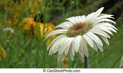 Gardening: close-up, detailed view of a cream gerbera daisy flower.