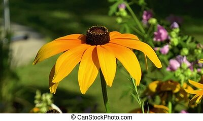 Gardening: close-up, detailed view of a Rudbeckia Hirta Black Eyed Susan flower.