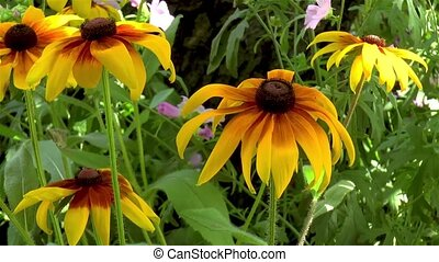 Gardening: close-up, detailed view of Gloriosa Daisy flowers.