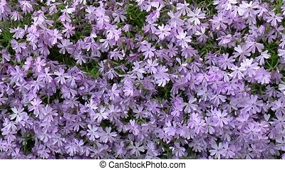 Gardening: close-up, detailed view of Phlox Subulata flowers.