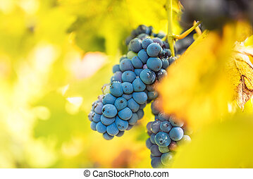 close up details of healthy red grapes on vineyard. autumn landscape with ripe grapes ready for wine