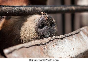 close up dirty nose of a pig