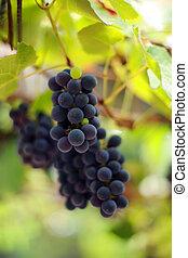 close-up, dof., grapevine, ondiep, vineyard., druiven, bos