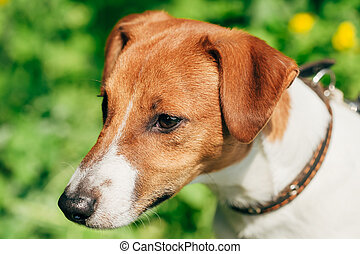 Dog jack russel terrier on green grass background