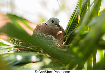 Dove bird sitting in the nest on a palm tree
