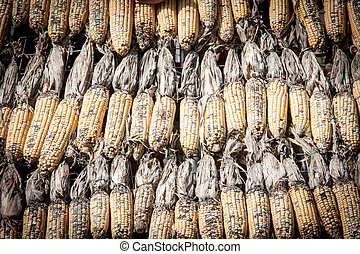 close up dry corn outdoor shot